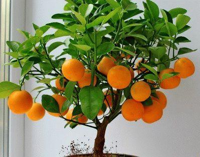 фото лимон из косточки в домашних условиях