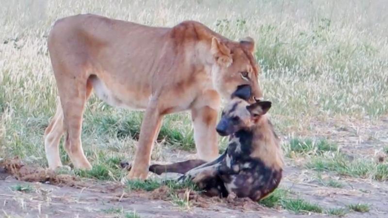 Дикий пёс перехитрил жадную львицу на глазах у туристов в Африке