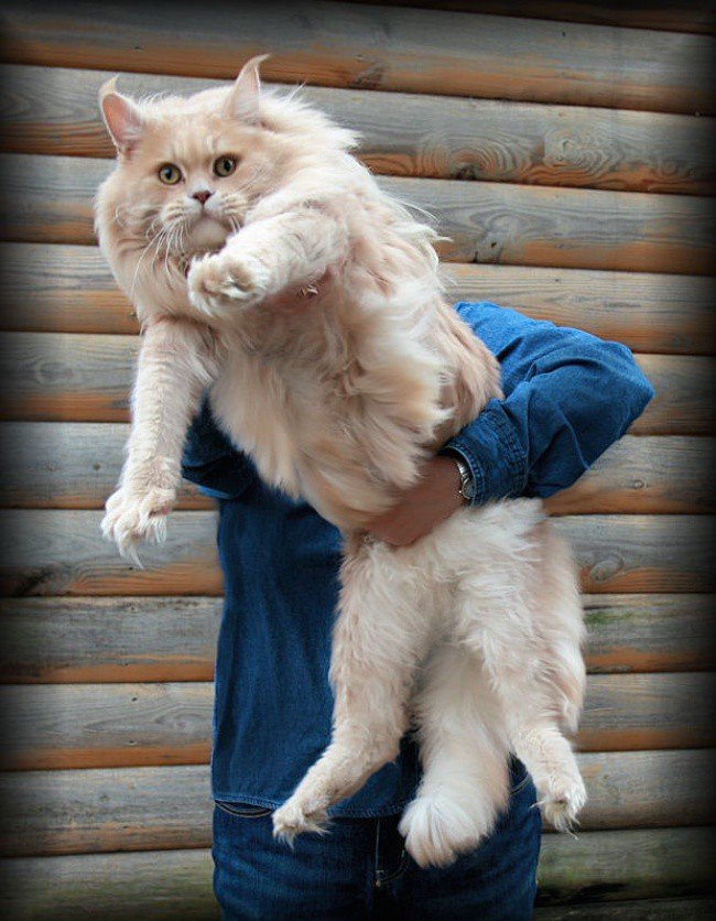 15 больших котов, которые не сомневаются в своей крутости огромные коты, фото