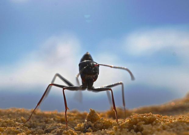 Пустынные муравьи запомнили …