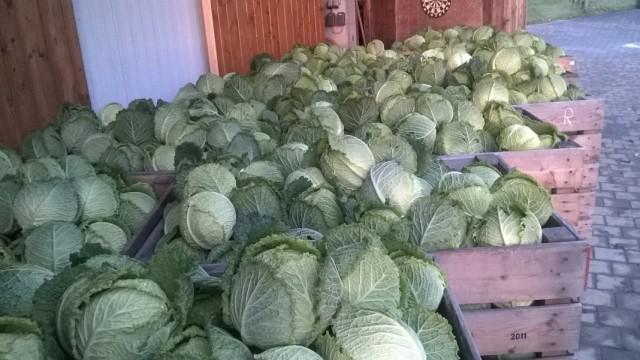 Собранный в ящики рожай капусты