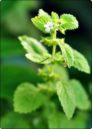 Лекарственные травы. Мелисса