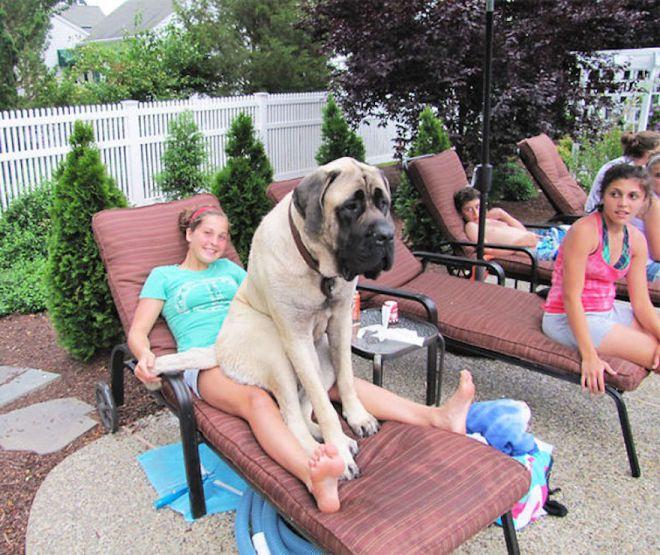 20 собак, которые не представляют, какие они большие