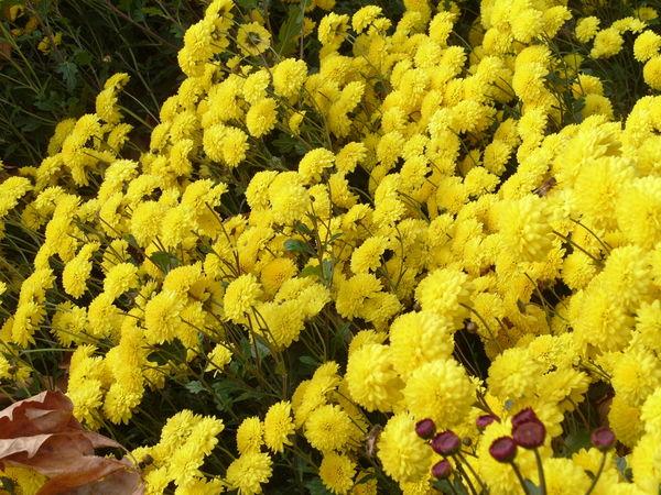 Хризантема сорт Солнечный Зайчик
