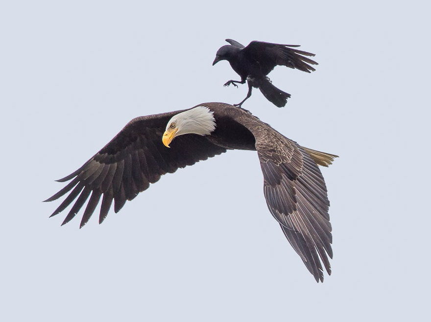 Этому отважному ворону удалось оседлать орла! Вот уж действительно слетанная пара