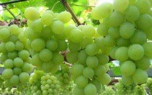 Неукрывной виноград для Подмосковья – удачные сорта + Видео