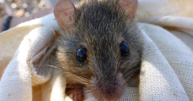 Официально подтверждено вымирание первого вида млекопитащего в результате глобального потепления