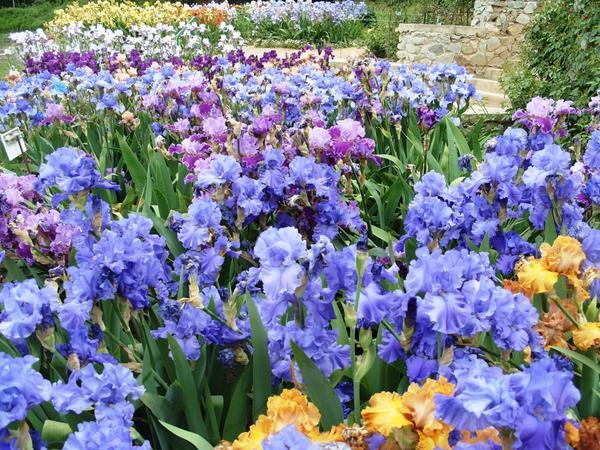 Радуга цветения ирисов