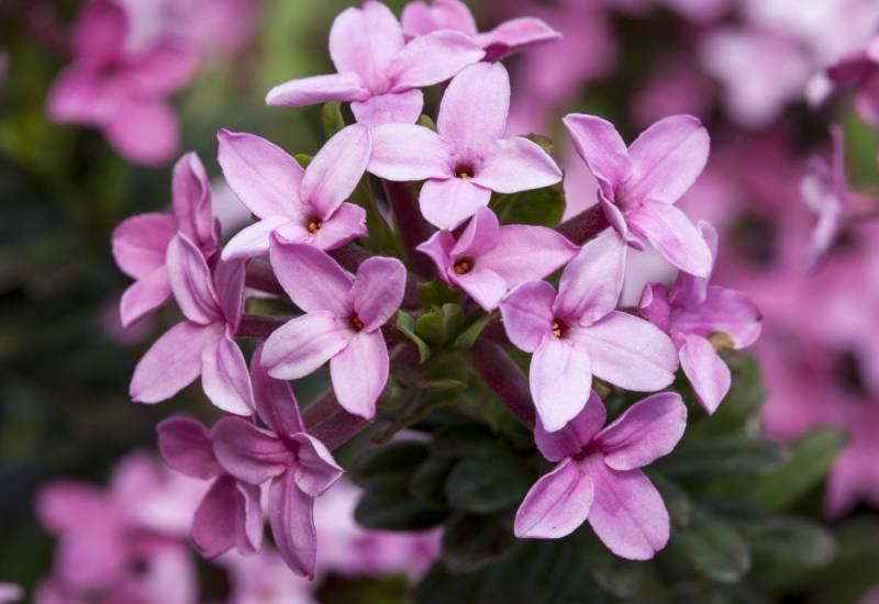 Дафни (волчеягодник) Дафни очень здорово пахнет – в Корее ее даже называют churihyang, что примерно можно перевести как «тысячемильный аромат». Но на самом деле это искусная ловушка для ценителей прекрасного. Это коварное растение просто хочет приманить вас поближе к своим ядовитым ягодам, съев которые человек может впасть в кому или даже умереть.