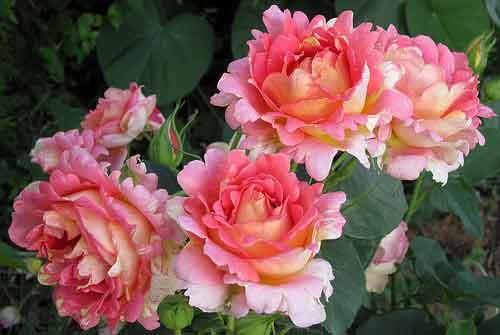 Пересадка розы