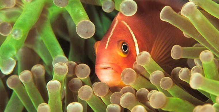 Рыбы-клоуны гермафродит, животные, пол
