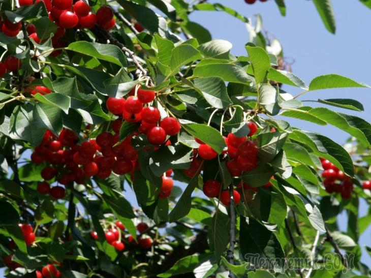 Правила посадки вишни весной