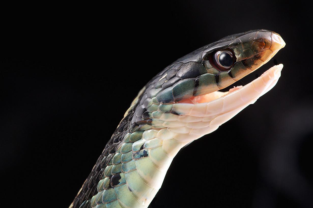 9. Чёрный полоз в мире, змея, красота