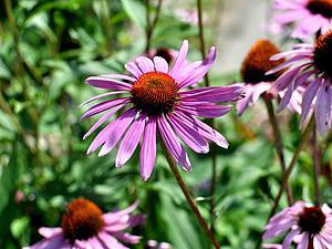 Как высушить живые цветы | Ярмарка Мастеров - ручная работа, handmade