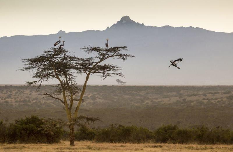 Венценосные журавли в предгорьях Кении животные, искусство, планета земля, природа, фото, хрупкость
