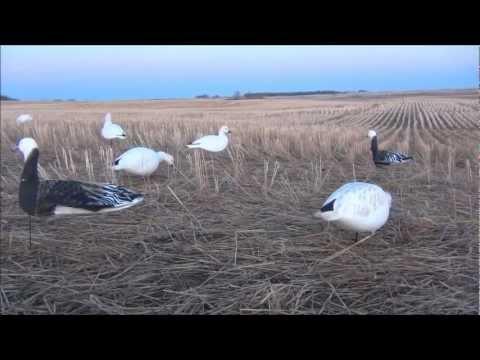 ловля гусей