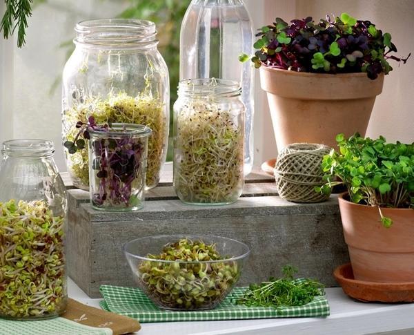 Проростки: как получить зелень из семян
