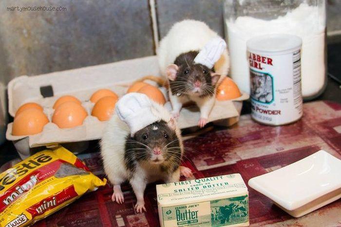 Они испекут печеньки из продуктов, которые вы купили, и не дадут вам ни одной! животные, крыса, милота, позитив