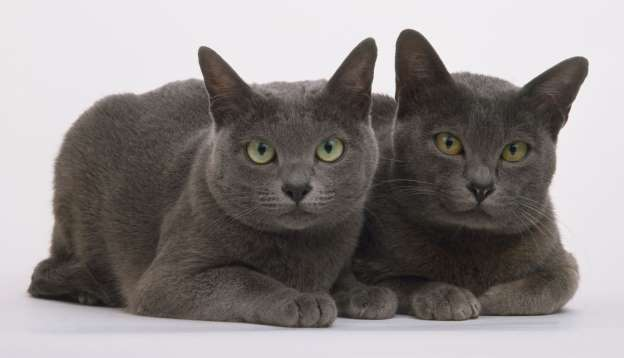 Two blue Korat cats (Felis silvestris catus), seated together, looking at camera.