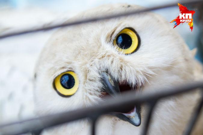 Водитель из Красноярского края провез полярную сову через всю страну, чтобы ее спасти
