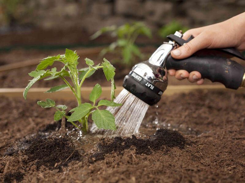 Как нужно поливать помидоры и нужно ли поливать вообще?