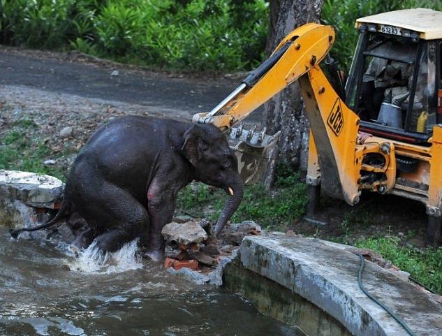 В Индии слоненка спасли из бассейна