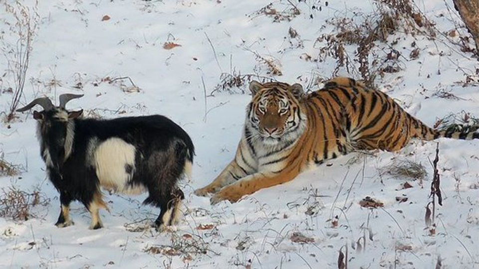 Невеста тигра Амура угрожает…