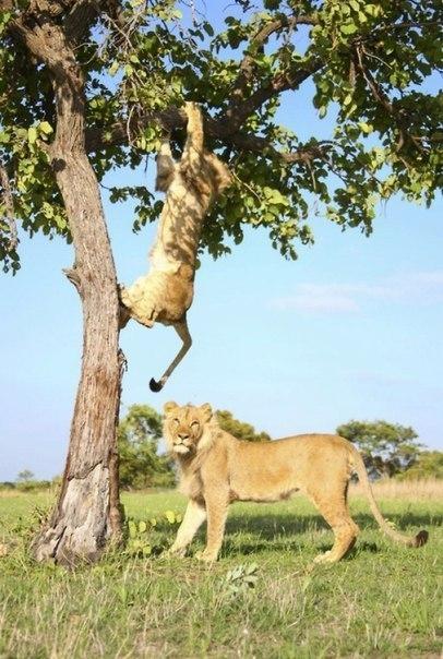 Лев застрял на дереве дерево, застрял, лев