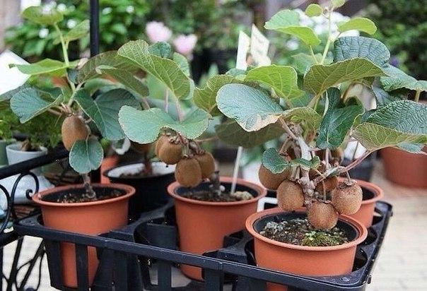 Сейчас лучшее время для посева киви! Как вырастить фрукт дома и на даче