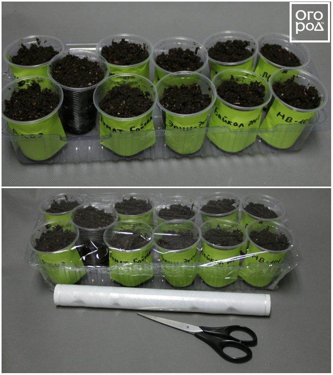 Стаканчики с семенами накрываем пленкой