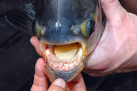 Гроза мужчин: В водах Европы появилась рыба «яйцерезка»