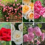 Розы: выращивание и уход (подборка)