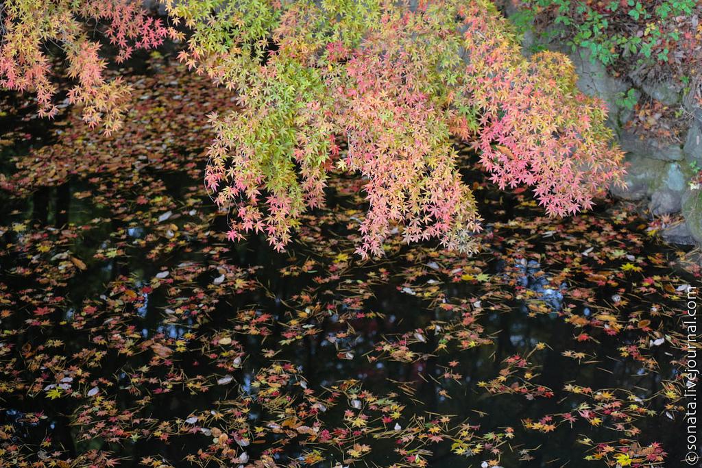 198 Клёны в ботаническом саду Кобе