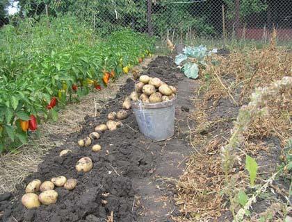 урожай картофеля выращенного под соломой