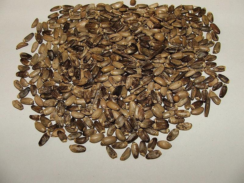 Семена расторопши фото