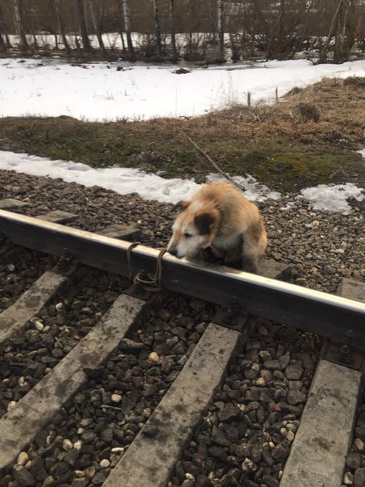 Хозяин привязал собаку к рельсам и спокойно ушел