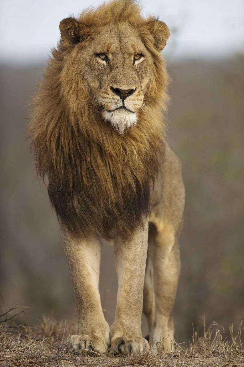 Удивительная красота львов Национального заповедника Масаи Мара, Кения