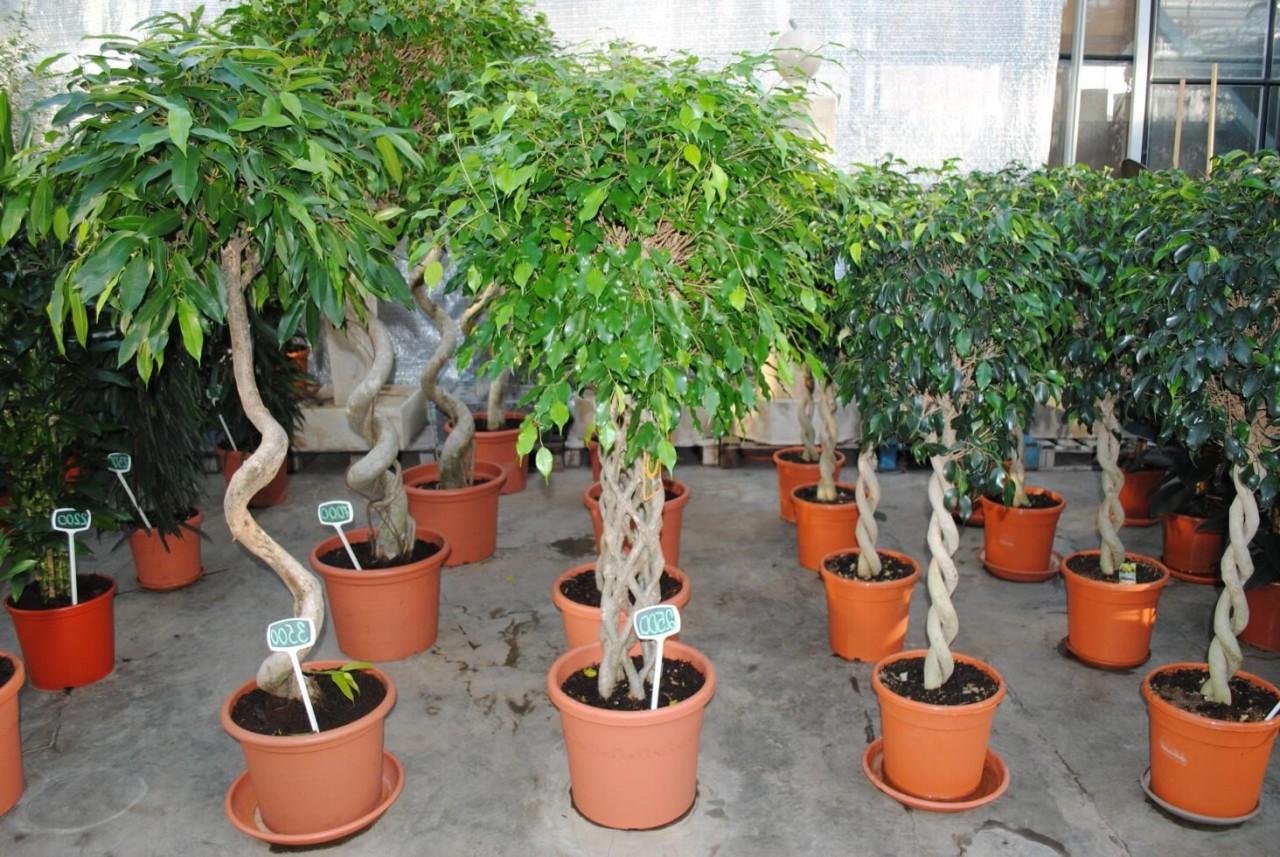 Декоративно лиственные комнатные растения фото
