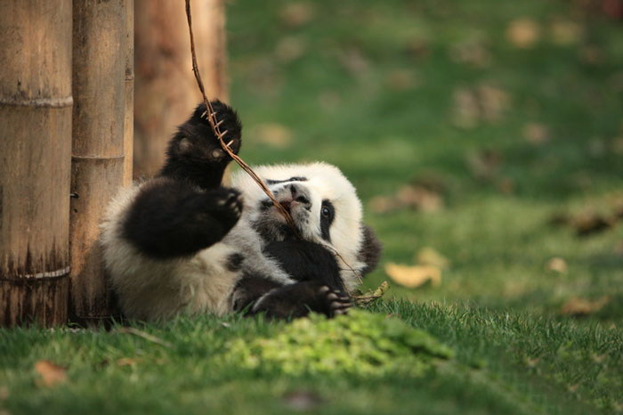 Самое милое место на Земле: Центр по уходу за пандами