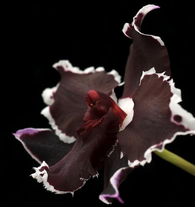 5230261_orhideya_dopol_plus (660x700, 175Kb)