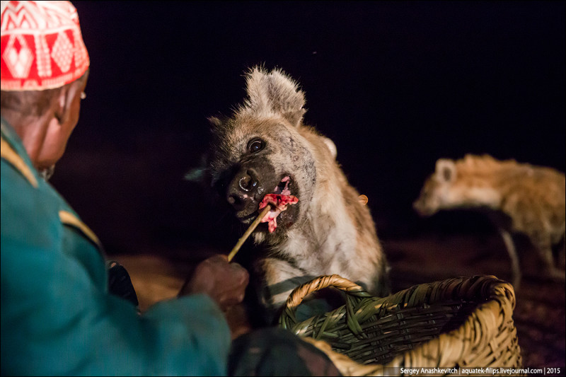 Развлечение не для слабонервных - кормление гиен в Хараре