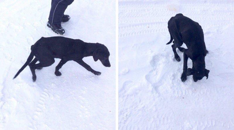 Хозяин не считал нужным кормить своего породистого пса, которого оставил на лесопилке