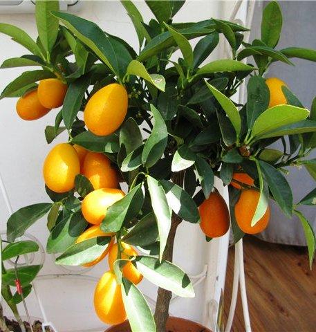 """Кумкват -  комнатный  """"золотой апельсин"""" родом из Азии. Не только красивый, но еще и суперполезный"""