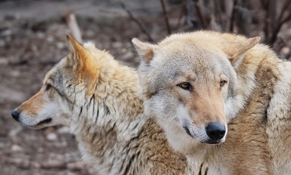 Волки в Московском зоопарке. Фото: © РИА Новости/Наталья Селиверстова