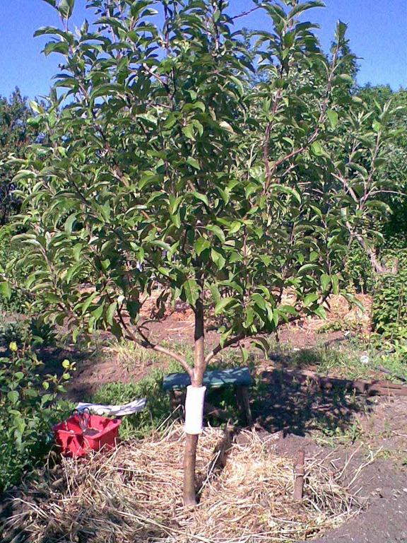 Как сделать ловчий пояс на яблони