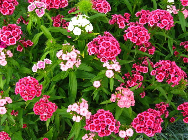 Цветы, предпочитающие щелочные почвы