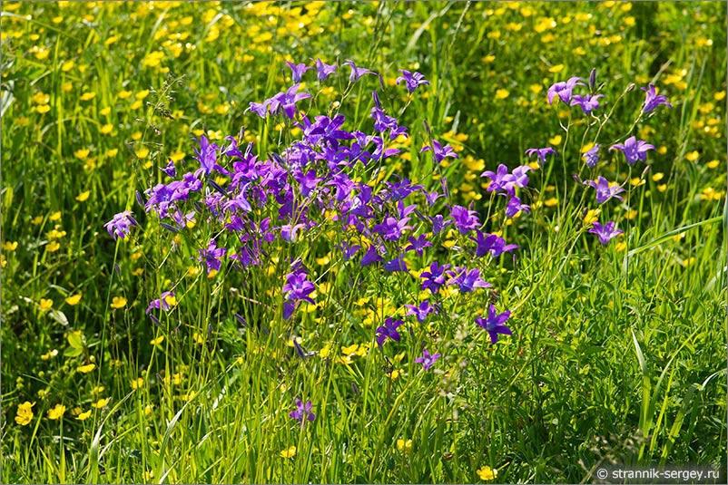 Полевые цветы Подмосковья