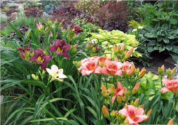 Лилейник в саду