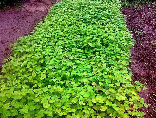 Удобрение для почвы. Сидераты /Отвечаю на вопросы