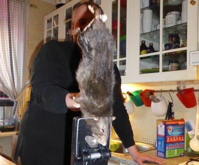 Вот какие крысы водятся в Швеции